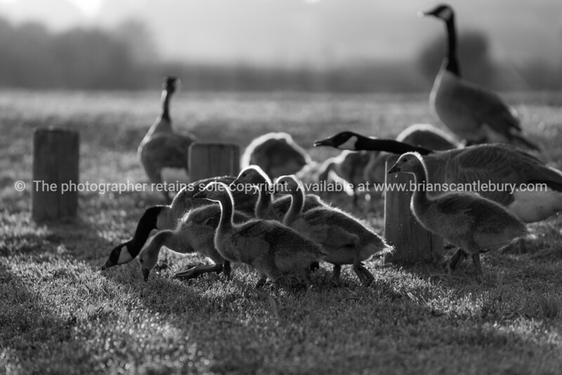 Family of Canada geese grazing on grassback-lit by morning sun.