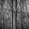 Grove of leafless birch trees in mid-winter