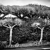 Architetcural style of dragon trees against green hedge