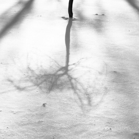 Tree casting long shadow