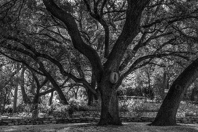 Spanish Oaks in Black & White