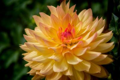 Yellow Dahlia