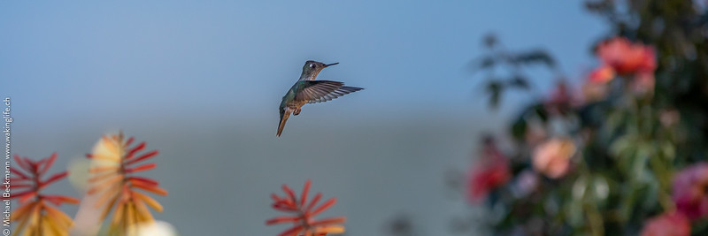 Pinned - Kolibri