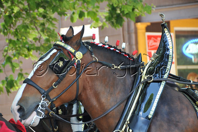 Budweiser Clydesdale Horse