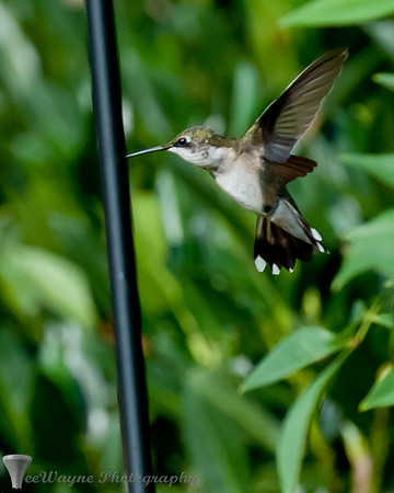 Get out of my way - here I come. Hummingbirds