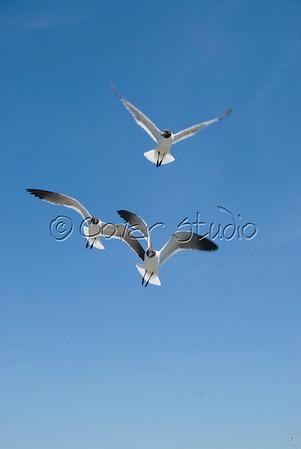 Seagulls at Ocracoke