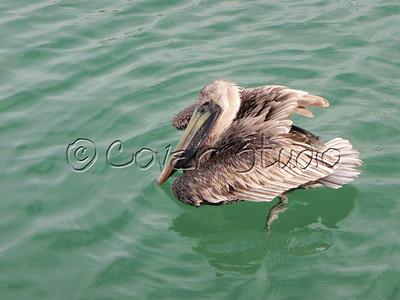 Pelican at Key West