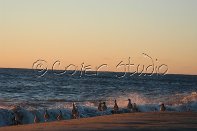 Ocean Birds at the Outer Banks