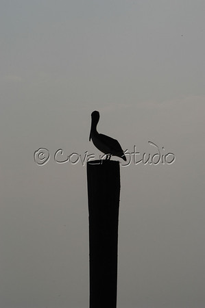 Pelican at the Outer Banks