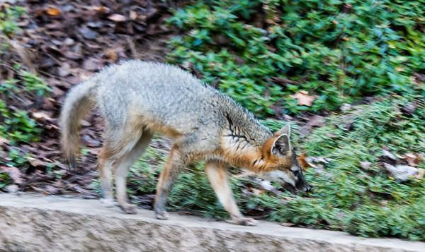 LG-Fox-_DSC1554