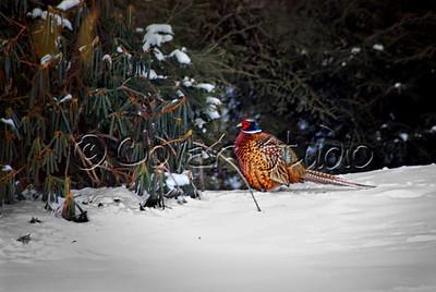 Ring Neck Pheasant