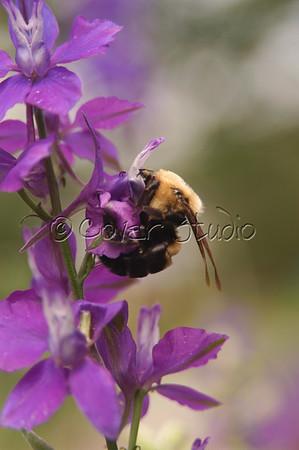Bumblebees Pollinating