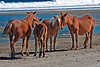 Wild Horses Of The Outer Banks
