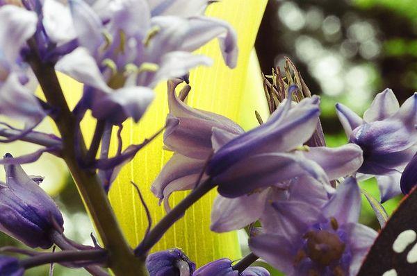 Wild Hyacinth [1451-24]