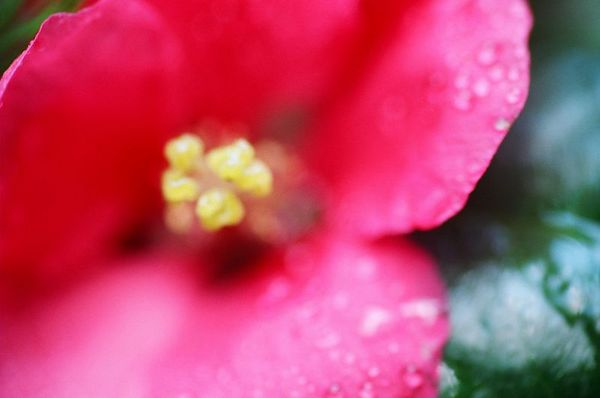 Water Quince [4570-12]