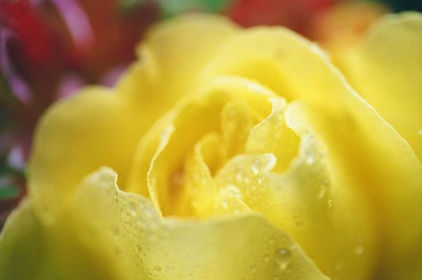 Morning Rose [6588-08]