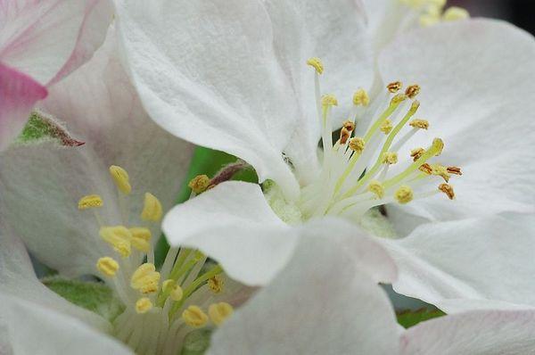 Apple Blossom [6807-10]