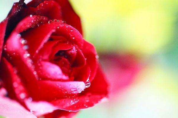 Rose Kiss [4571-11]