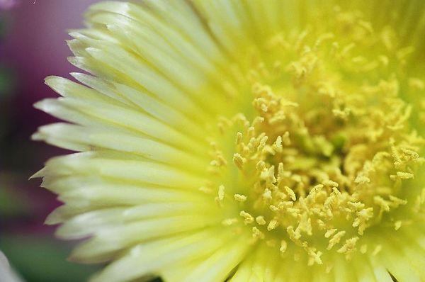 Shore Flower [6526-32]