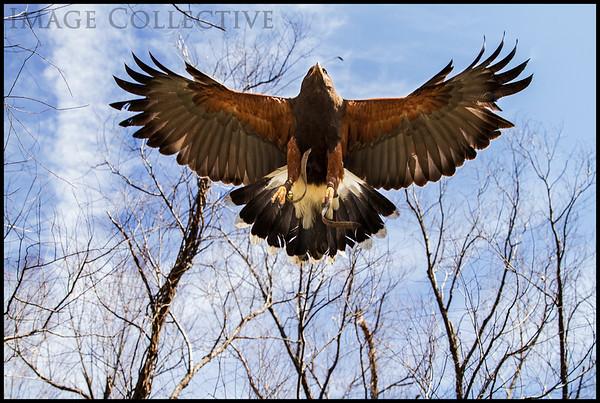 Coulson Family Hawks