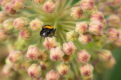 Beetle in the blooms