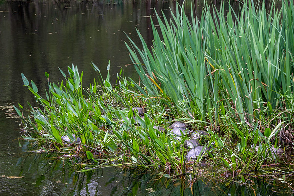 A nest of turtles at Armand Bayou Nature Center