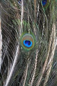 """ Peacock Feathers"", Winter Garden, FL"