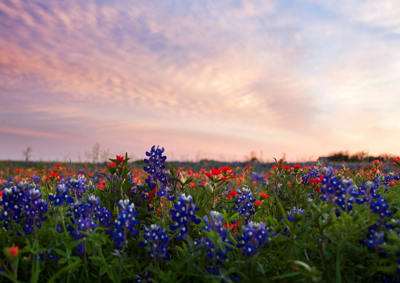 Indian paintbrushes and bluebonnets at sunset