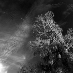 The Moon and Spanish moss at sunset in Brazos Bend State Park. 2 photo panorama
