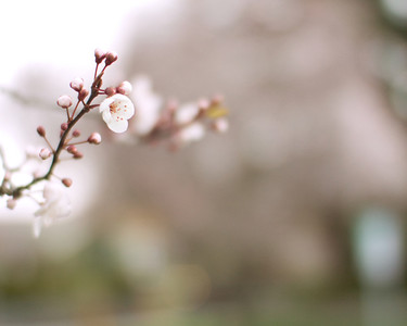 Plum blossoms bring in the first signs of Spring in the Pacific Northwest