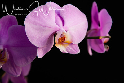 B_Wills_S_O_C_Hilltop_Orchids_1