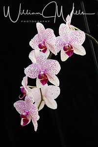 B_Wills_S_O_C_Hilltop_Orchids_3