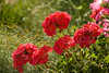 Flower Scenic