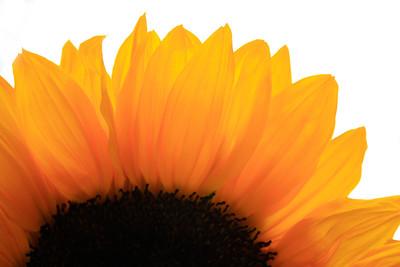 Sunflowers (103)