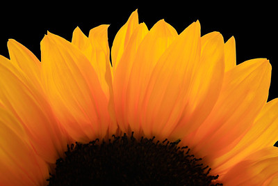 Sunflowers (104)a