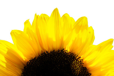 Sunflowers (38) High key_edited-2