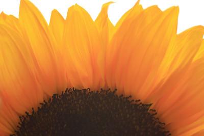 Sunflowers (71)