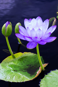 water lilies 7