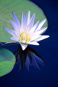 water lilies 16 copy