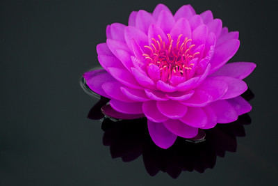 water lilies 12