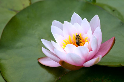 water lily and bee copy