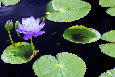 water lilies 6 copy