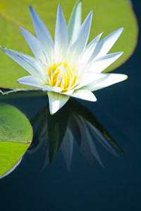 water lilies 18 copy
