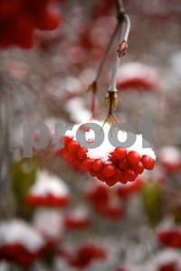 berriesinsnow