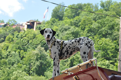 Dalmatian at the Incline