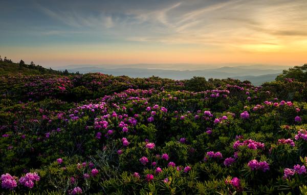 Rhododendron Dreams