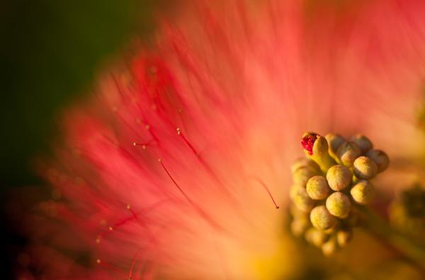 Mimosa Bloom