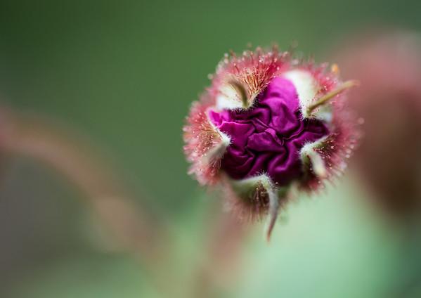 Wild Purple Rasberry