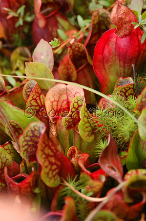 Carnivorous Plant Bog