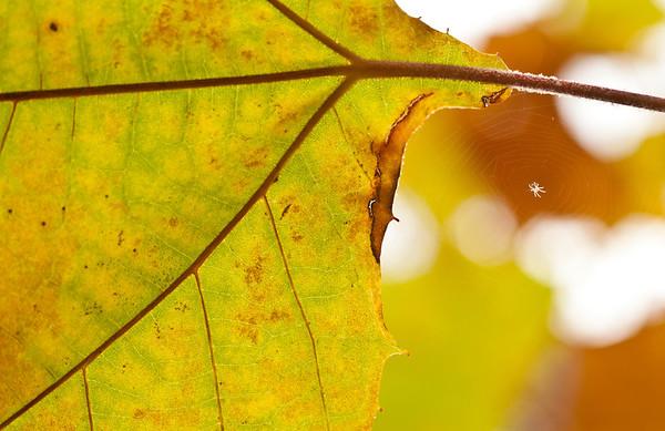 Autumn Spider